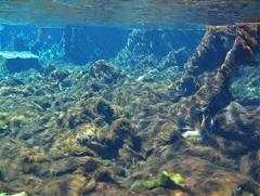 Photo from the Florida Department of Environmental Protection showing Weeki Wachee as it is today, with algal mats covering the bottom and the previous diverse ecosystem damaged.